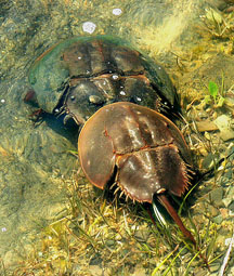 Mating horseshoe crabs