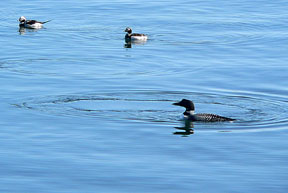 Common loon & Oldsquaws