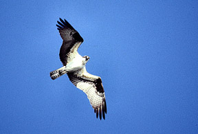 osprey-flying_72