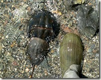 Horseshoe Crabs and Boot