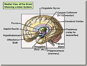 Medial View of Brain-96