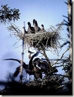 2 Heron Nests