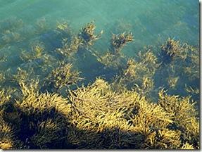 Rockweed at High Tide