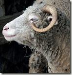 Sheep, pecora, mouton?