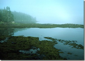 Rockweed at Low Tide_96
