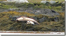 Seal mother & nursing pup on rockweed
