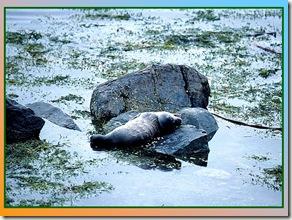 Seal Pup Amid Rockweed