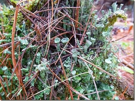 P1010416 96-lichen-4