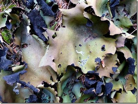 P1010428 96-lichen-1