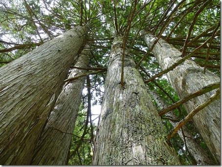 P1010933 96-Trees-10