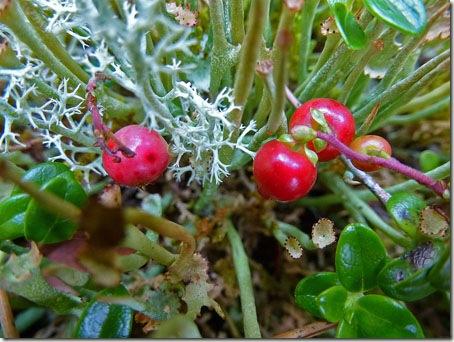 P1020539 96-cranberry