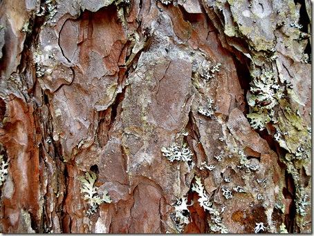 P1020733 96-red-pine-bark