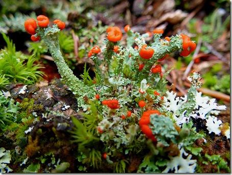 P1020919 96-lichen-1