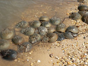 Horseshoe Crabs in Delaware Bay