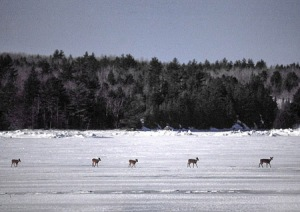Deer on an iced Taunton Bay.