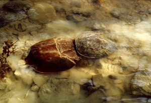 Female horseshoe crab with male attached