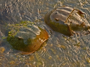 Solo horseshoe crabs