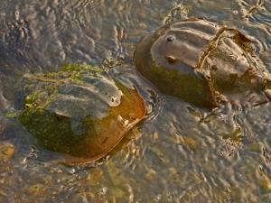 Solo horseshoe crabs