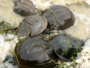 Mating horseshoe crabs.
