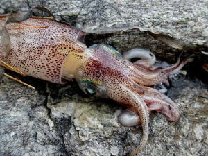 Dead squid on Ellsworth schist.